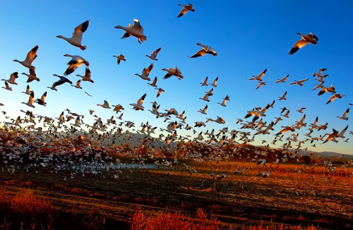 thousands of snow geese flying in new mexico