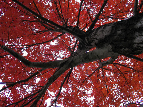 a trree with lots of red leaves in new jersey
