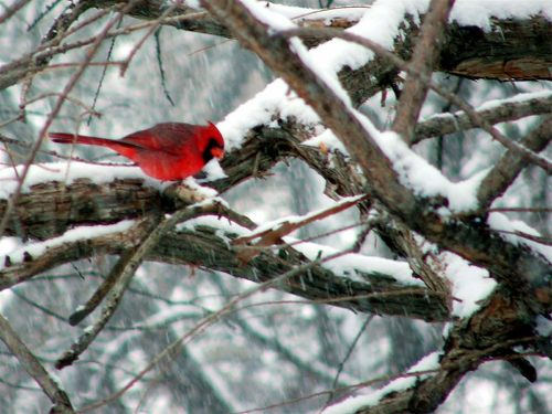 Red robin caught on a branch with lots of snow