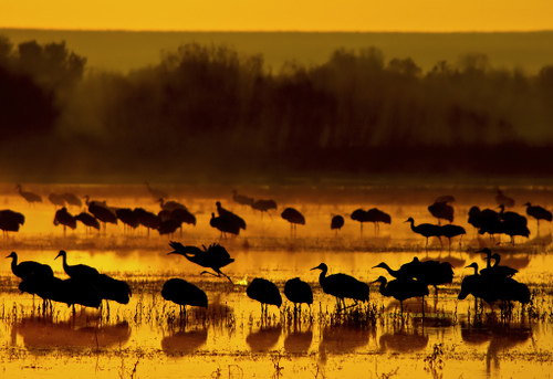 Sandhill cranes at sunrise in New Mexico