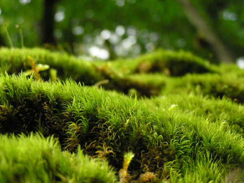 Field of Moss by Pipstrula at flickr