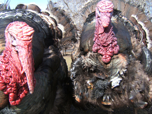 Fugly Turkeys by D'Arcy Norman at flickr